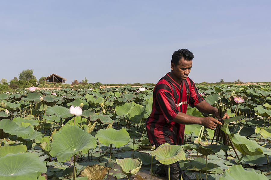 A lotus farmer in his field, in Siem Reap province, Cambodia. © MorganFache